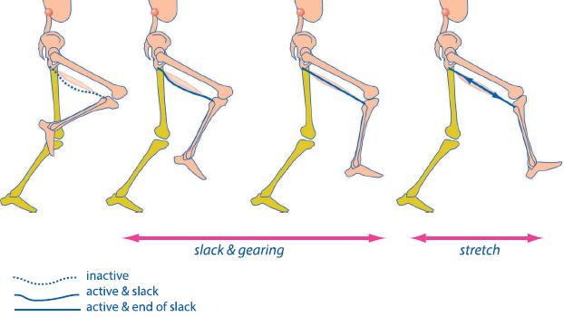 hamstring slack